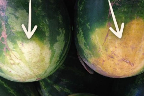 lubenica4